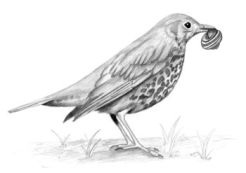 pencil of thrush smashing snail shells