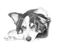 Collie Dog Sketch